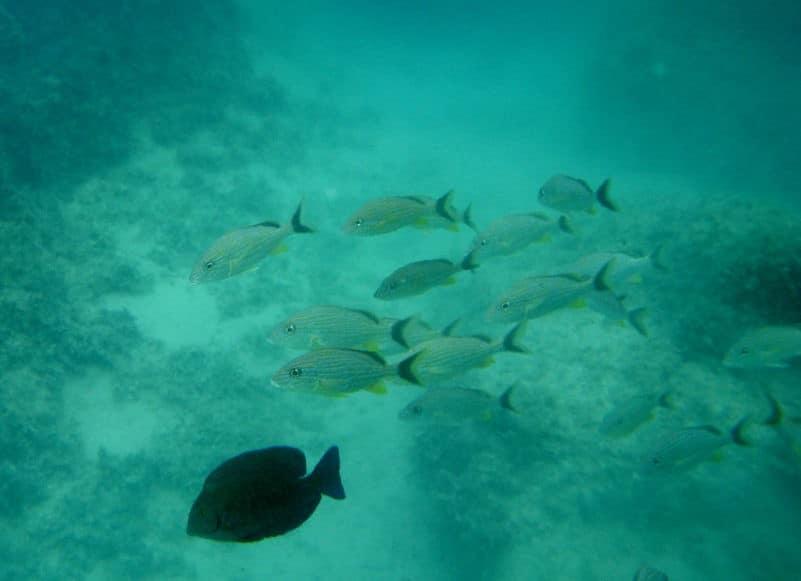 snorkeling poisson minorque