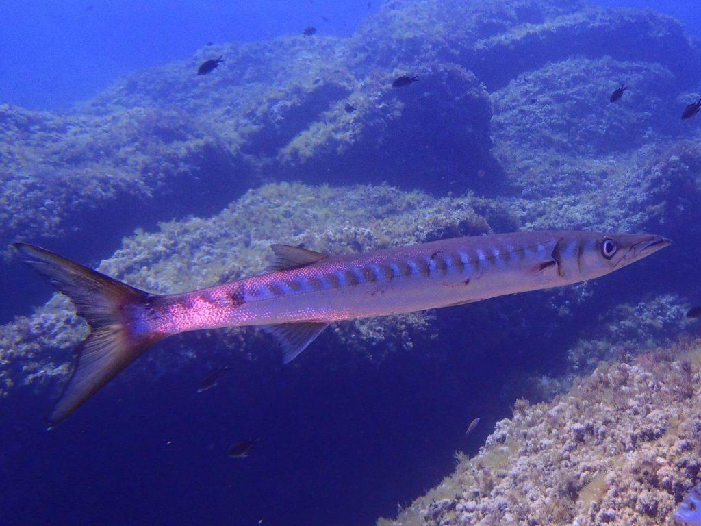 Div4 | Une Plongée En Pleine Réserve Marine ? Diving Fornells Sans Hésiter | Bons Plans Minorque